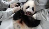 pui panda yuan (1)