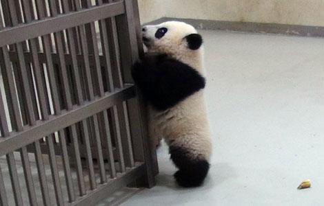 pui panda yuan (10)
