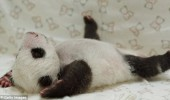 pui panda yuan (11)