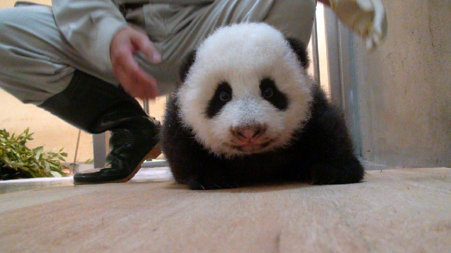 pui panda yuan (12)