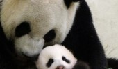 pui panda yuan (3)