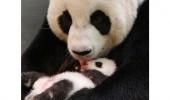 pui panda yuan (4)