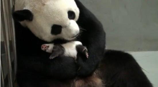 pui panda yuan (7)