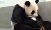 pui panda yuan (8)