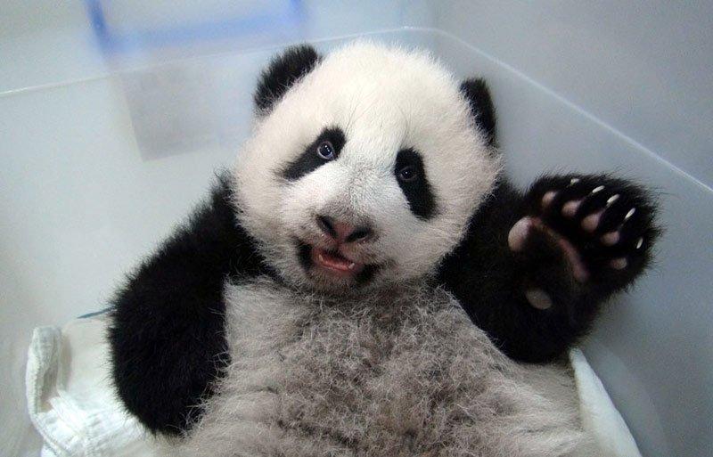 pui panda yuan