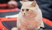 sofisticat pisici main coon british shorthair sphinx (10)