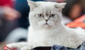 sofisticat pisici main coon british shorthair sphinx (12)