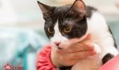 sofisticat pisici main coon british shorthair sphinx (16)