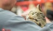 sofisticat pisici main coon british shorthair sphinx (19)