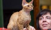 sofisticat pisici main coon british shorthair sphinx (21)