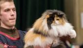 sofisticat pisici main coon british shorthair sphinx (22)