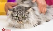 sofisticat pisici main coon british shorthair sphinx (24)