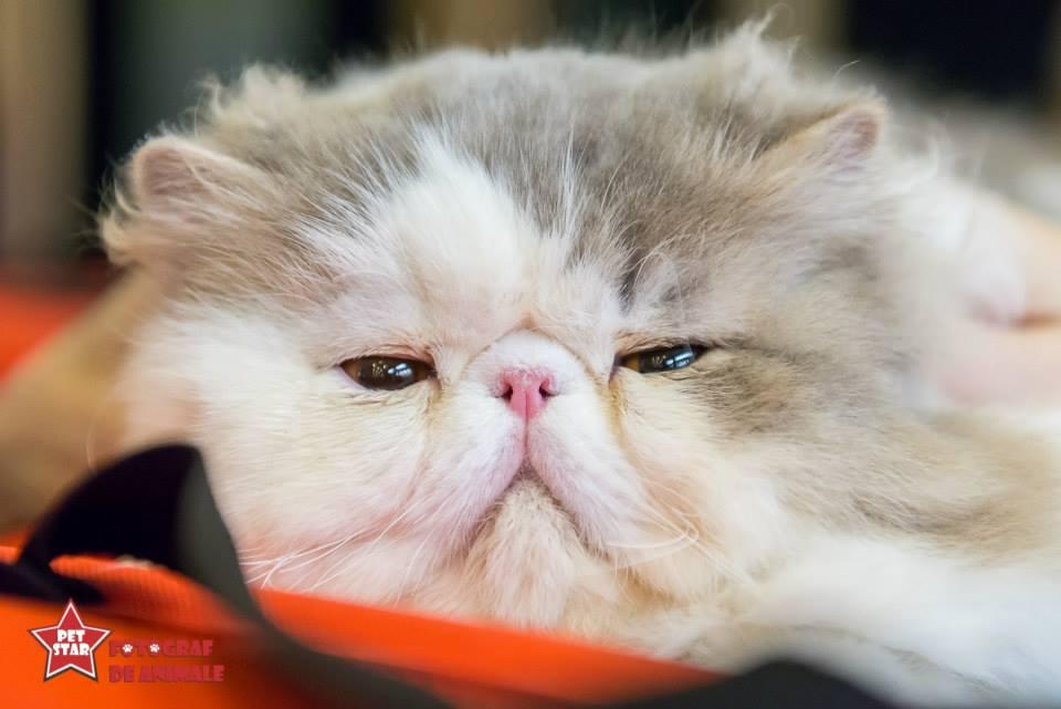 sofisticat pisici main coon british shorthair sphinx (26)