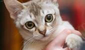 sofisticat pisici main coon british shorthair sphinx (27)