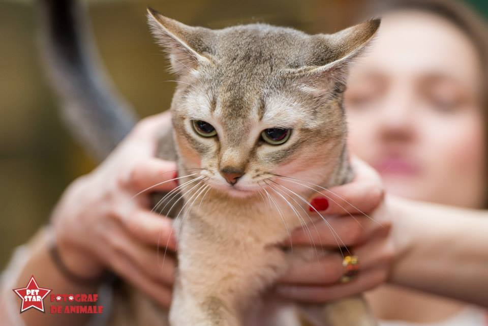 sofisticat pisici main coon british shorthair sphinx (28)
