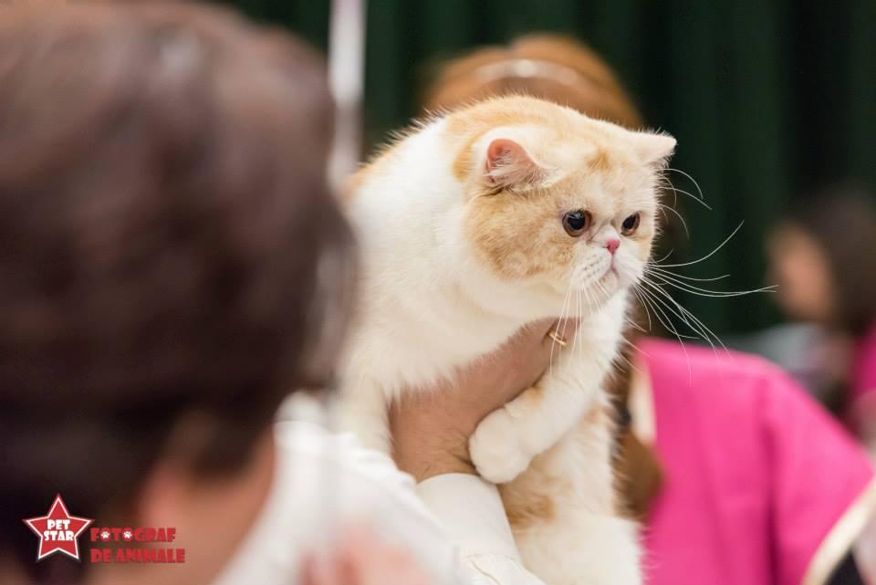 sofisticat pisici main coon british shorthair sphinx (3)