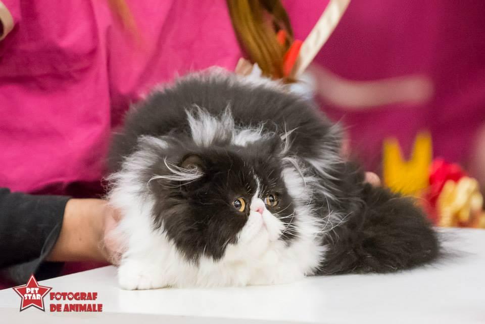 sofisticat pisici main coon british shorthair sphinx (30)