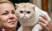 sofisticat pisici main coon british shorthair sphinx (32)