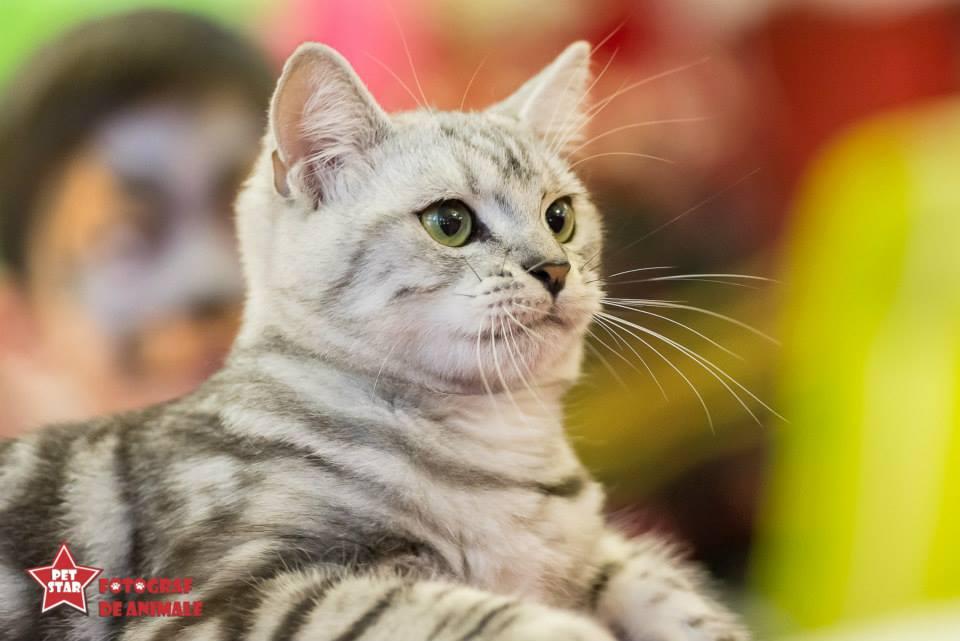 sofisticat pisici main coon british shorthair sphinx (35)