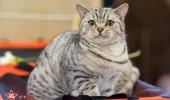sofisticat pisici main coon british shorthair sphinx (38)