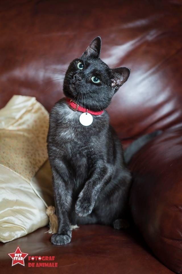 sofisticat pisici main coon british shorthair sphinx (39)