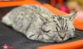 sofisticat pisici main coon british shorthair sphinx (42)