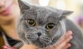 sofisticat pisici main coon british shorthair sphinx (43)