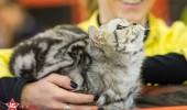 sofisticat pisici main coon british shorthair sphinx (44)