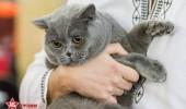 sofisticat pisici main coon british shorthair sphinx (45)