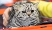 sofisticat pisici main coon british shorthair sphinx (46)