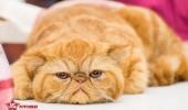 sofisticat pisici main coon british shorthair sphinx (48)
