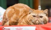 sofisticat pisici main coon british shorthair sphinx (49)