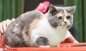 sofisticat pisici main coon british shorthair sphinx (52)