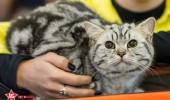 sofisticat pisici main coon british shorthair sphinx (56)