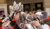 sofisticat pisici main coon british shorthair sphinx (57)