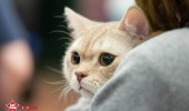 sofisticat pisici main coon british shorthair sphinx (6)