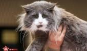 sofisticat pisici main coon british shorthair sphinx (60)