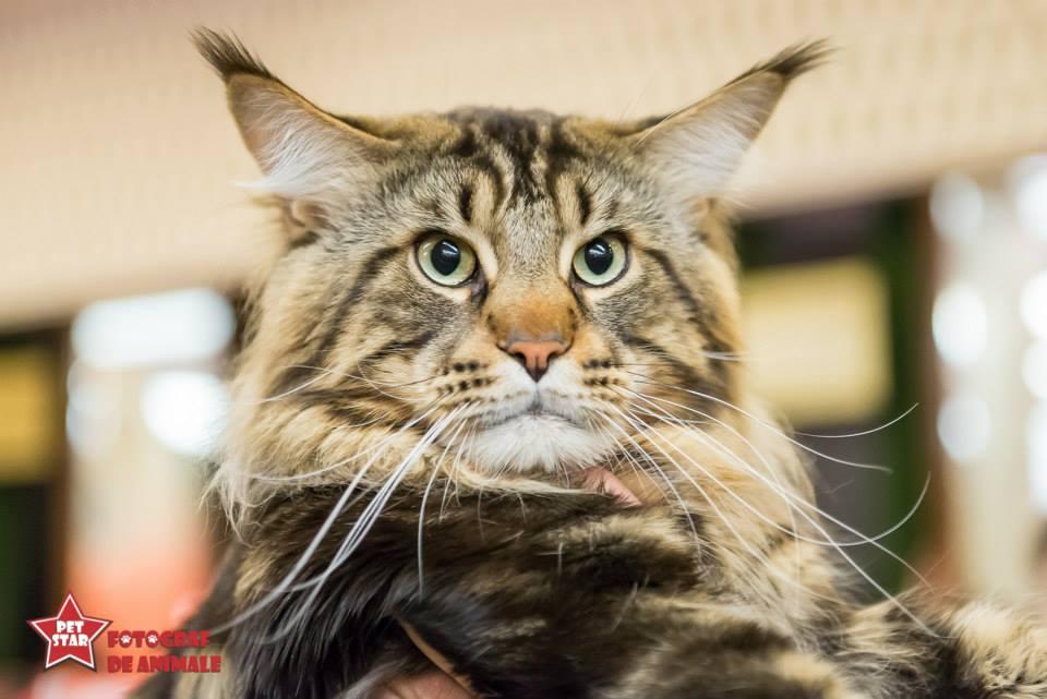 sofisticat pisici main coon british shorthair sphinx (61)