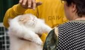 sofisticat pisici main coon british shorthair sphinx (63)