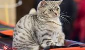 sofisticat pisici main coon british shorthair sphinx (65)