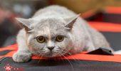 sofisticat pisici main coon british shorthair sphinx (67)