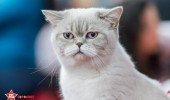 sofisticat pisici main coon british shorthair sphinx (7)
