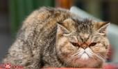 sofisticat pisici main coon british shorthair sphinx (71)