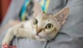 sofisticat pisici main coon british shorthair sphinx (72)
