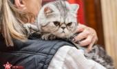 sofisticat pisici main coon british shorthair sphinx (73)