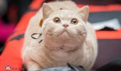 sofisticat pisici main coon british shorthair sphinx (9)