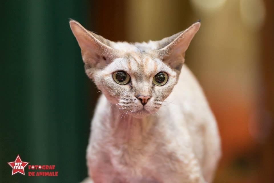 sofisticat pisici main coon british shorthair sphinx