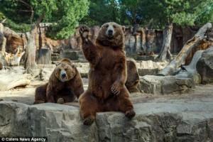 URȘII de la Grădina Zoologică din Madrid au găsit un TRUC cu care-i conving pe vizitatori să le dea de mâncare. GALERIE FOTO