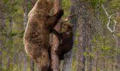 Încredibil! Senatorii au luat o decizie de ultimă oră în privința urșilor!