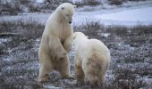 Polar bears sparring, Churchill, Manitoba;Canada